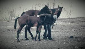 Learning horse friuli