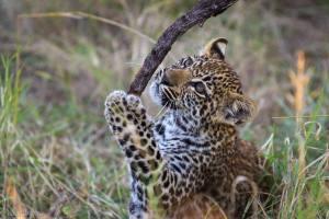 leopardo studia